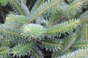 Caring for a Christmas Tree