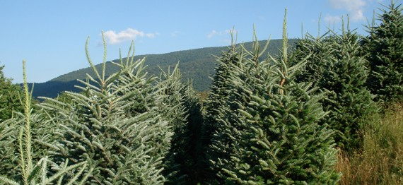 7e6f67504c8 Wholesale Christmas Trees