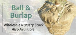 Wholesale Ball and Burlap Nursery Stock Also Available